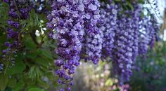 When friends moved into a new home, they planted wisteria near their fence and looked forward to the lavender blossom that would appear after five years of growth. Over two decades they enjoyed thi…