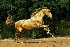 The Gold Stallion