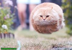 superfat cat