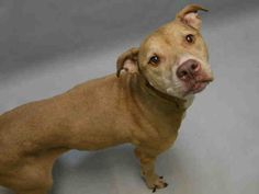 CHAMPAGNE IS SAFE WITH REBOUND HOUNDS❤️ - 01/23/17 - **SENIOR**   Super Urgent Brooklyn - CHAMPAGNE - #A1101751 - FEMALE BROWN AM PIT BULL TER MIX, 15 Yrs - OWNER SUR - ONHOLDHERE, HOLD FOR ID Reason HOUSE SOIL - Intake 01/18/17 Due Out 01/18/17 - TOLERATED HANDLING, NO SIGN OF AGGRESSION