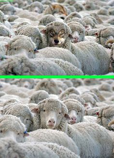 Fake - Wolf in Sheeps ? - The original image is on the bottom. Used in many different scenarios.