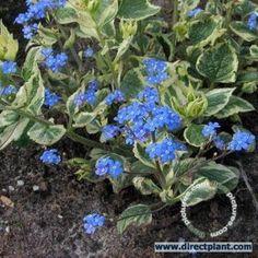 Kaukasische vergeet-mij-niet (Brunnera macrophylla 'Variegata')