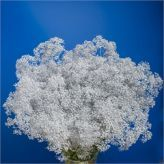 Fresh wholesale cut flowers supplied at the lowest prices. Perfect for Wholesale Flowers for Weddings. Gypsophila, Cut Flowers, Lilac, Wedding Flowers, Projects To Try, Clouds, Outdoor, Outdoors, Lilac Bushes
