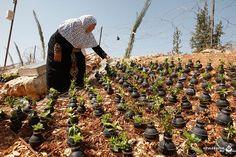 1_wm  Otvlekator.ru  Женщина, проживающая в Палестине, выращивает цветы в корпусах от гранат со слезоточивым газом Женщина-палестинка, проживающая в деревне Билин, недалеко от города Рамалла, в зна...