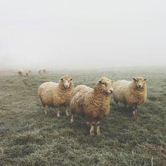 I miss the sheepies at Doubting Thomas Farms.