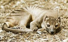 Hand-coloured pic of a Thylacine in London Zoo.