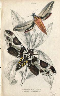 Antique Print Exotic Colorful Moths Jardine 1800s 2