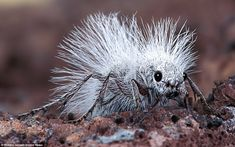 Despite its name the inch-long beast, known formally as the Thistledown Velvet Ant, is actually a wingless female wasp.