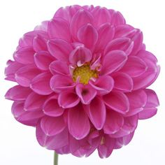 Pink Lavender Button Dahlia Flower    Pink Lavender Button Dahlia flowers have abundant delicate petals that splay out into a globe shape. This pink flower with lavender undertones is shipped fresh and direct from our farm and would add bright color any wedding flower arrangement or bouquet. Shipping included!