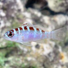 Chalk Bass (Serranus tortugarum) - Have Saltwater Aquarium Beginner, Saltwater Aquarium Setup, Live Aquarium, Saltwater Tank, Marine Aquarium, Reef Aquarium, Saltwater Fishing, Marine Tank, Salt Water Fish