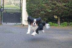 Tricolor Cavalier King Charles Spaniel with all four paws off the ground!!!!