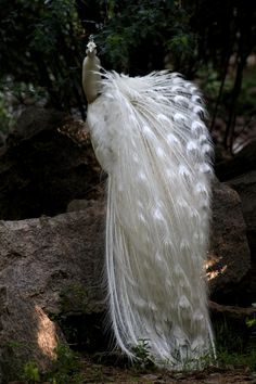 white peacock | bird photography #peafowl                                                                                                                                                     More