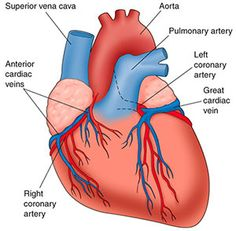 base and apex of heart - google search | medical | pinterest, Cephalic Vein