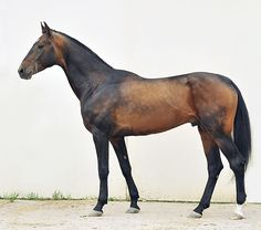 Studfarm of Naib Idris - Tuareg, an Akhal - Teke stallion. Look at that color!