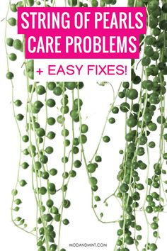 String of pearls plants are very easy to care for, but you can run into some common problems. Read on for all the fixes and what to look out for so you can quickly identify and take action to save your String of Pearls plant. Let's talk plants! modandmint.com House Plant Care, House Plants, Take Care Of Yourself, Save Yourself, Succulent Care, String Of Pearls, Indoor Plants, How To Find Out, Succulents