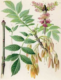 Ash Tree (Fraxinus Americana)- largest of the native ashes.  White ash is the wood used for Louisville Slugger baseball bats