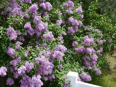 lilacs....gorgeous!