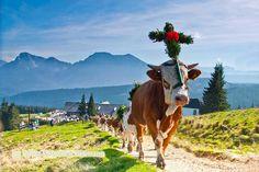 Almabtrieb von der Stoißeralm, Büchsenalm und Gotzenalm - Berchtesgadener Land Blog