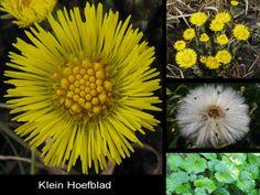 Klein Hoefblad - Tussilago farfara. - Foto gemaakt door pinterester Adri v.d.S - Bord Wilde Gele bloemen - Yellow wildflowers