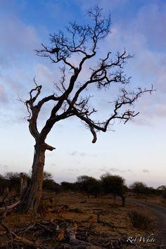 #botswana #tree #treeart #tree dawn #trees #dawn #sunrise #dusk #lonely sky #lonely tree