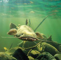 Flathead #Catfish - http://peteregan.net/how-to-chum-for-catfish/