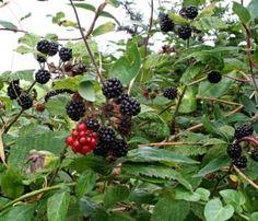 Growing Blackberries – gardening tips | gardening tips for beginners