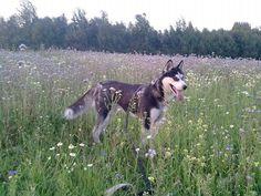 Husky Luna