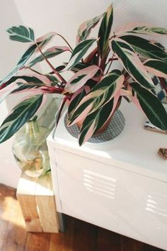 calathea cat safe house plants that are not toxic to pets - Home Professional Decoration Calathea Triostar, Cat Safe House Plants, Plantas Indoor, Belle Plante, Decoration Plante, Pink Plant, Interior Plants, Interior Design, Green Life