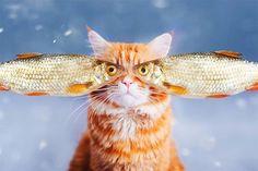 """A fotógrafa russa Kristina Makeeva tem um gato chamado Kotleta (Costeleta, em português), fonte de inspiração para a criação de imagens incríveis, cujo protagonista é ele mesmo. """"Kotleta tem este olhar conquistador do mundo desde que ele nasceu"""", contou Kristina. Além do charme, o felino parece gostar de ser o modelo dos ensaios de sua dona, que explicou:"""