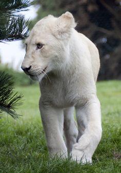 Rare White Lion!