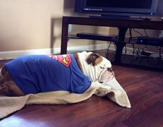 """❤ .....Someone """"tugged on Superman's Cape"""" ~ Look @ that Stink-Eye-Face after being awakened from a Sunday nap! ❤ Posted on Bulldog Pics"""