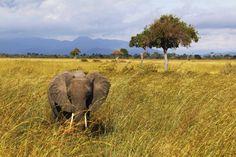 Elefante en Mikumi National Park, Tanzania. Visita mi página web para ver más fotografías: https://unachicatrotamundos.wordpress.com/2016/07/30/safari-en-mikumi-national-park/