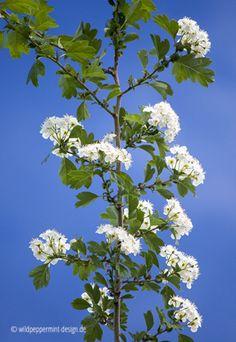 Wissenswertes zum #Weißdorn, #bienenweide, #Vogelschutzgehölz, dekorativ und schnittverträglich und heimisch, Weißdorn-blühend-vor-blauem-Himmel