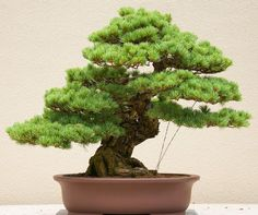If you want a strikingly beautiful bonsai, the Japanese White Pine is it. This dense tree can grow upwards to tall in the wild but when trained, it becomes a magnificent bonsai.