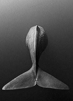 Sea animals - a fin of a humpback whale. Beautiful Creatures, Animals Beautiful, Cute Animals, White Photography, Animal Photography, Ocean Creatures, Tier Fotos, Humpback Whale, Ocean Life