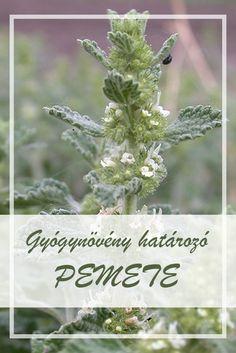 A Pemetefű népies neve:  pemete, orvosi pemetefű, fehér pemetefű  Hogyan gyűjtsük a Pemetefű gyógynövényt?  A növény felső, virágos hajtását használják gyógyászati célokra, május-június folyamán gyűjtik. Az elvirágzott állapotban lévő pemetefüvet már ne használjuk gyógyításra. Drupal, Medicinal Plants, Health And Nutrition, Health And Beauty, Medical, Dandelion, Flowers, Gardening, Therapy