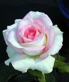 Captivating Why Rose Gardening Is So Addictive Ideas. Stupefying Why Rose Gardening Is So Addictive Ideas. Beautiful Rose Flowers, Pretty Roses, Flowers Nature, Exotic Flowers, Amazing Flowers, Beautiful Flowers, Lavender Roses, Purple Roses, Pink Flowers