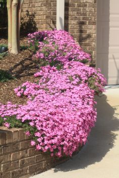 I just planted these last spring and I love them.one of my favorite ground cover plants Phlox Lawn And Garden, Garden Beds, Garden Plants, Outdoor Plants, Outdoor Gardens, Australian Native Garden, House Landscape, Landscape Design, Ground Cover Plants