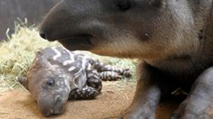 A baby tapir with its mother at the zoo in Amneville, France, on July 8, 2013. (AFP/Getty Images)