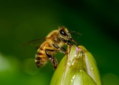 Bee on a Lily - Photography by Athena Georgiou