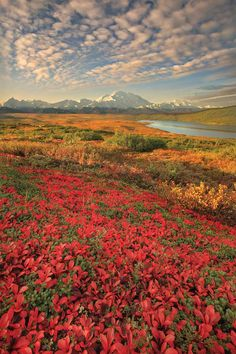 Flowers in Denali Nation Park, Alaska.