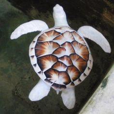 Una rara y hermosa tortuga de mar con leucismo Esta fotografía es de un ejemplar de tortuga de mar de la Reserva de Tortugas Marinas de Kos...