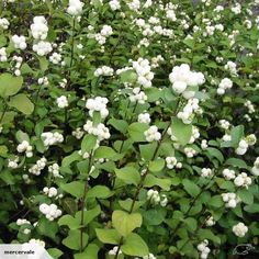 Symphoricarpos albus - snowberry   Trade Me