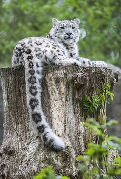 Snow Leopard (by Tony_Gardner)