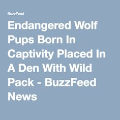 Endangered Wolf Pups Born In Captivity Placed In A Den With Wild Pack - BuzzFeed News