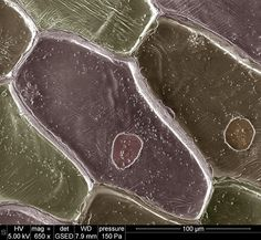Onion Cells Cool Science Experiments, Weird Science, Life Science, Science And Nature, Foto Macro, Scanning Electron Microscope, Microscopic Photography, Micro Photography, Microscopic Images