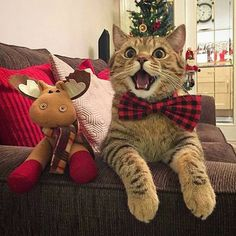 Cats and kittens are the funniest animals on Earth. Just look how all these cats & kittens play, fail, get along with dogs, make Funny Animal Pictures, Funny Animals, Cute Animals, Funny Cats, Christmas Animals, Christmas Cats, Merry Christmas, Christmas Holidays, Cute Kittens