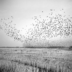 "flashofgod: ""Brandon Thibodeaux, A flock of black birds swarm over a harvested field near Mound Bayou, December 2010. """