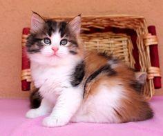 Pavlina Russian Gold of Aurora Glow Siberian Cat, Masquerade, Aurora, Glow, Cats, Animals, Gatos, Animales, Animaux