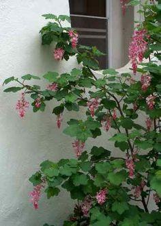 Ribes sanguineum glutinosum, Pink-Flowered Currant is easily espaliered.